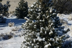 Ridge tree