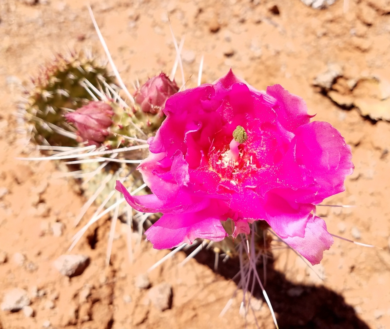 Prickly Pear Rose2