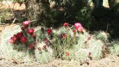 Cactus 5-5